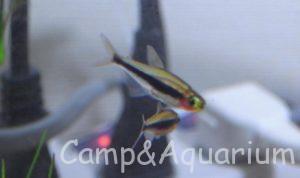 熱帯魚 トゥッカーノテトラ
